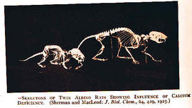 Skeletons of twin albino rats showing influence of calcium deficiency.