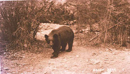 A Brown Bear.