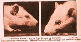Rats showing Ophthalmia (Vitamin A Deficiency).