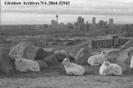 Sheep sheltered from the wind, Calgary, Alberta.