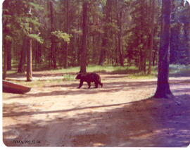 Bear at camp.