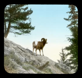 [Mountain sheep]