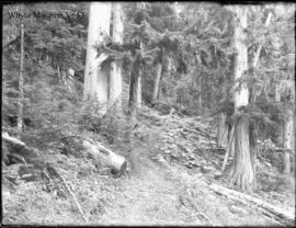 Woods, trail to Cascades, showing large cedar trees, Glacier trip 1898 (No.81). 8/27/98