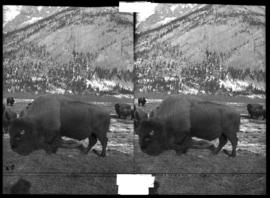 Banff Animal Paddock, buffalo, includes Sir Donald?