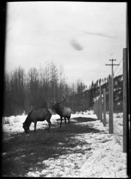 Banff Animal Paddock, elk herd