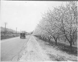 Canada. A Niagara fruit orchard in blossom time / CN51