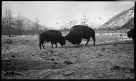 Banff Animal Paddock, buffalo fighting